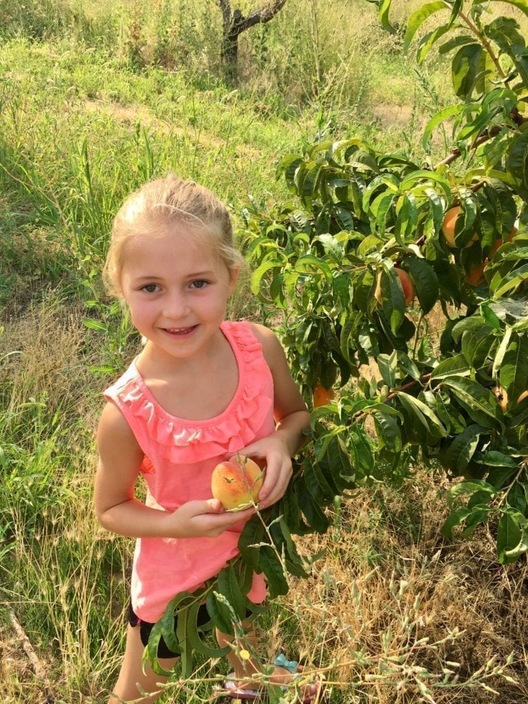 picking fresh peaches at a local orchard.